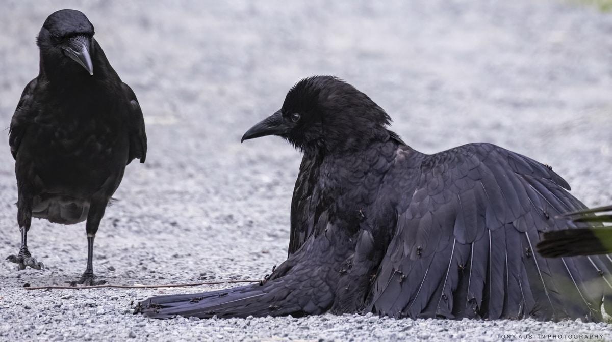 Crow Taking an Ant Bath