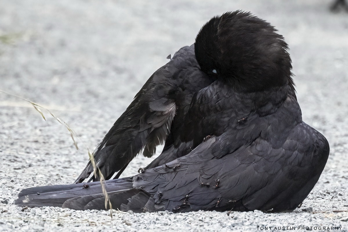 Black Crowing Taking an Ant Bath