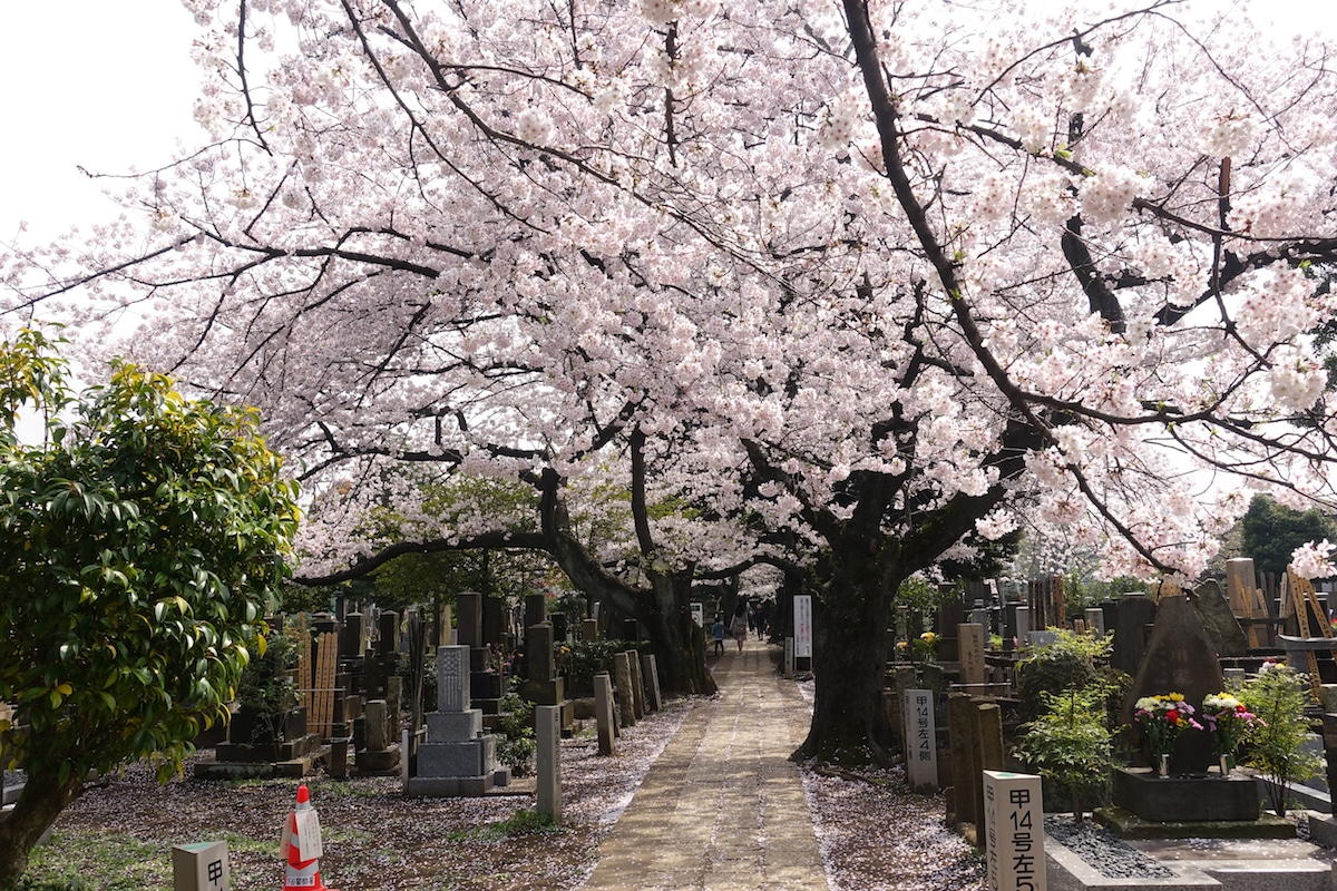 Cemetary in Japan During Cherry Blossom Season