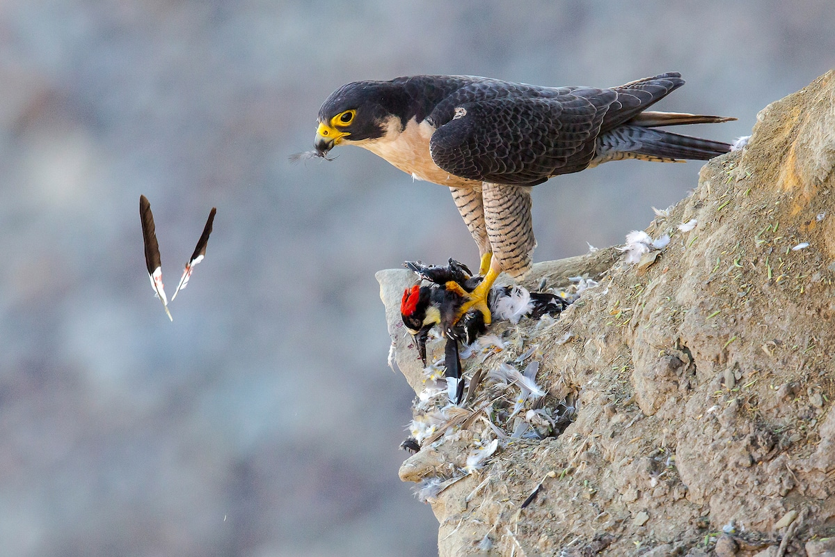 Peregrine Falcon standing with a red-crested Acorn Woodpecker in its bloodied talons.