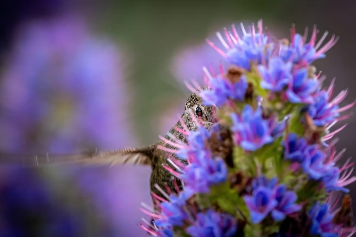 Anna's Hummingbird Nestled Into a Purple Pride of Madeira Plant