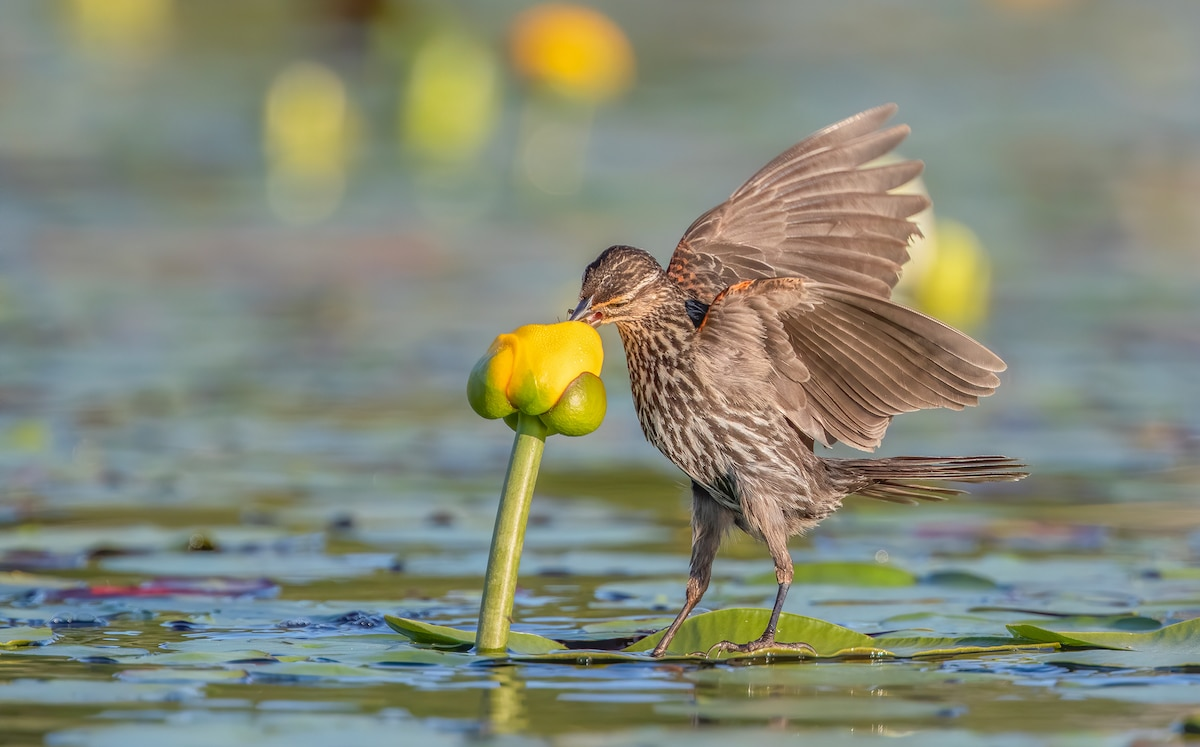 Female Red-winged Blackbird Standing on a Lilypad