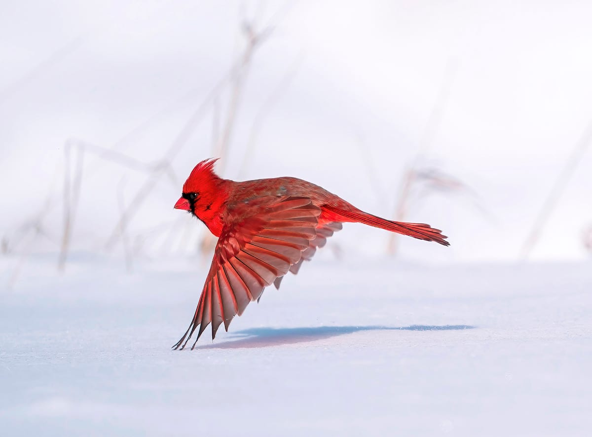 Male Red Cardinal Flying Against a Snowy Background