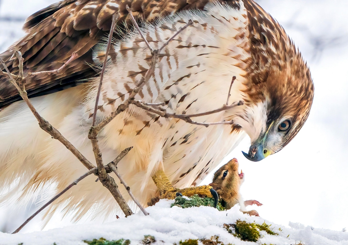 A Red-tailed Hawk holds an open-mouthed chipmunk in its yellow talons