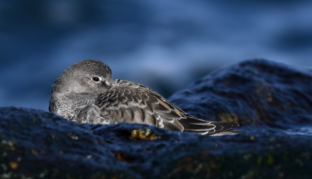 Purple Sandpiper sits with its beak tucked under its brown and gray wing