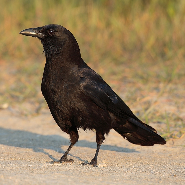 Crows are Intelligent Enough to Understand The Concept of Zero