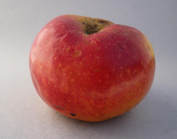 manzana mongola