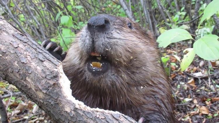 Beaver Chews Through Tree