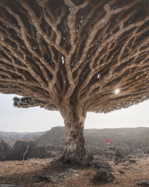 Daniel Kordan Photographs Socota's Dragon Blood Tree