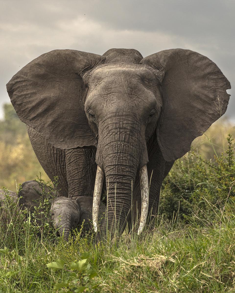 Elephant by Eric J Smith