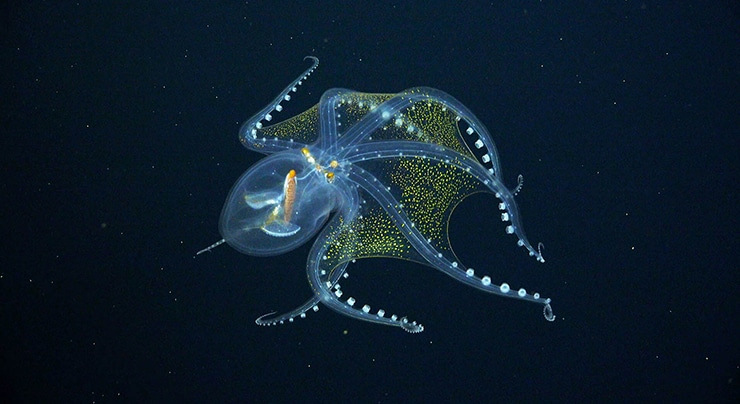 Researchers Exploring the Deep Waters of the Ocean Encounter a Rare Glass Octopus
