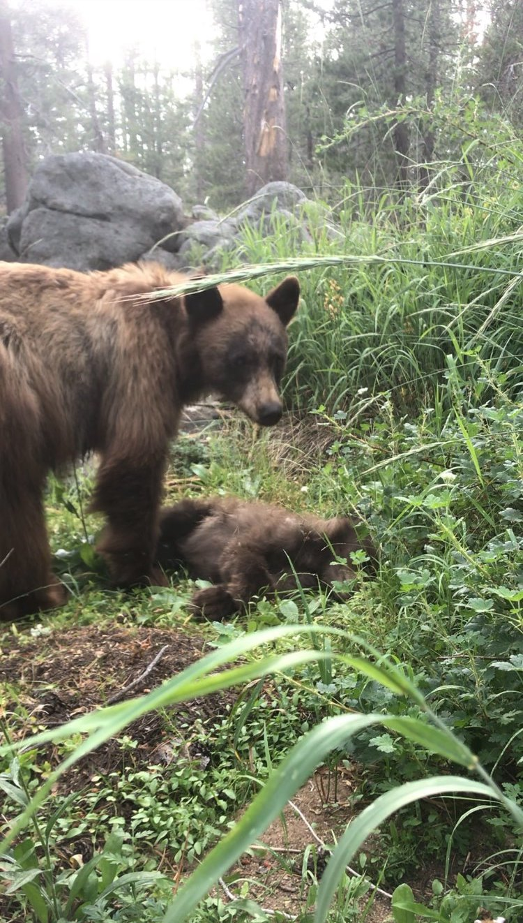 Grieving Mother Bear Stands Over Her Dead Cub