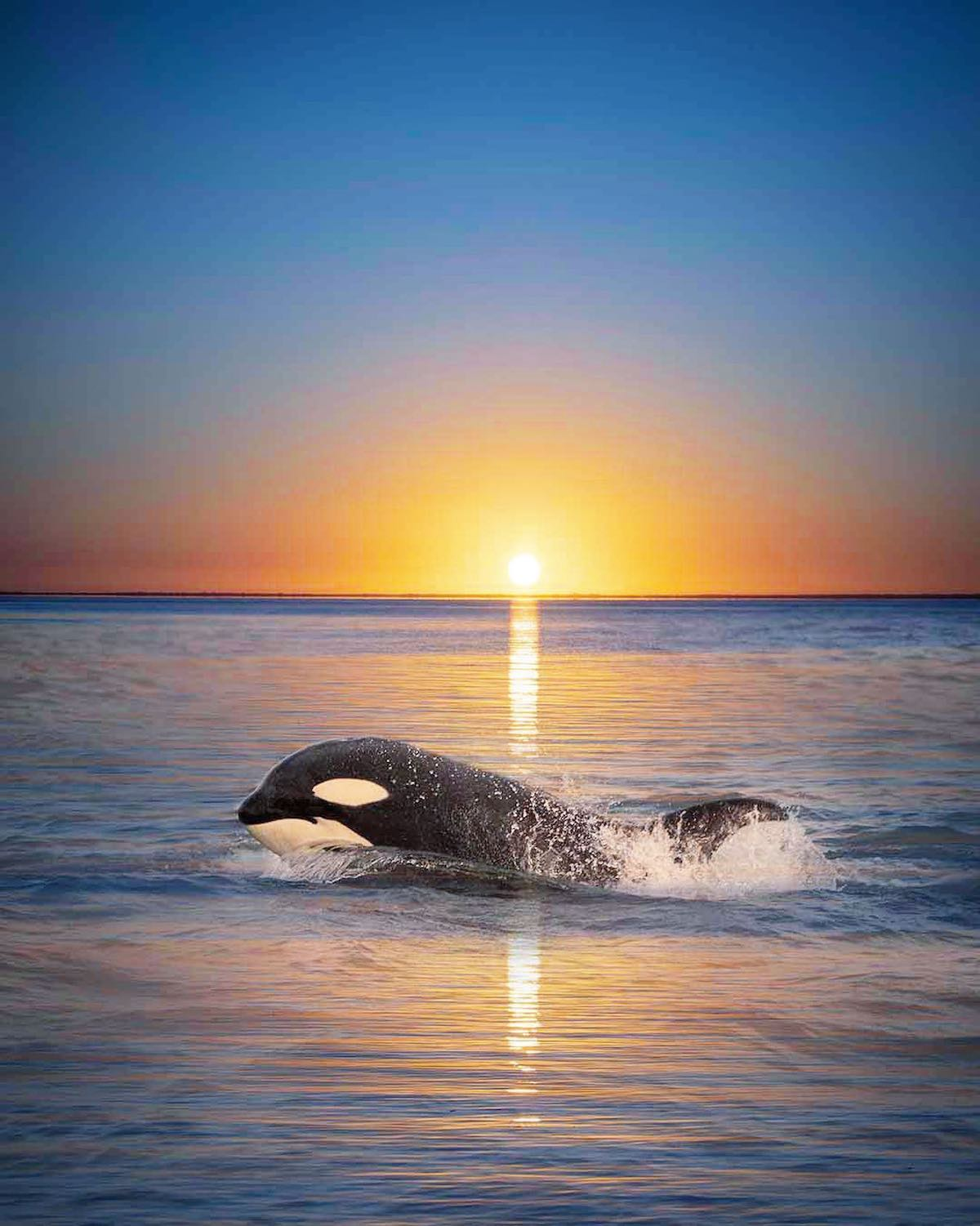 Photo Composite of Orca with Sunset by Mary Parkhill
