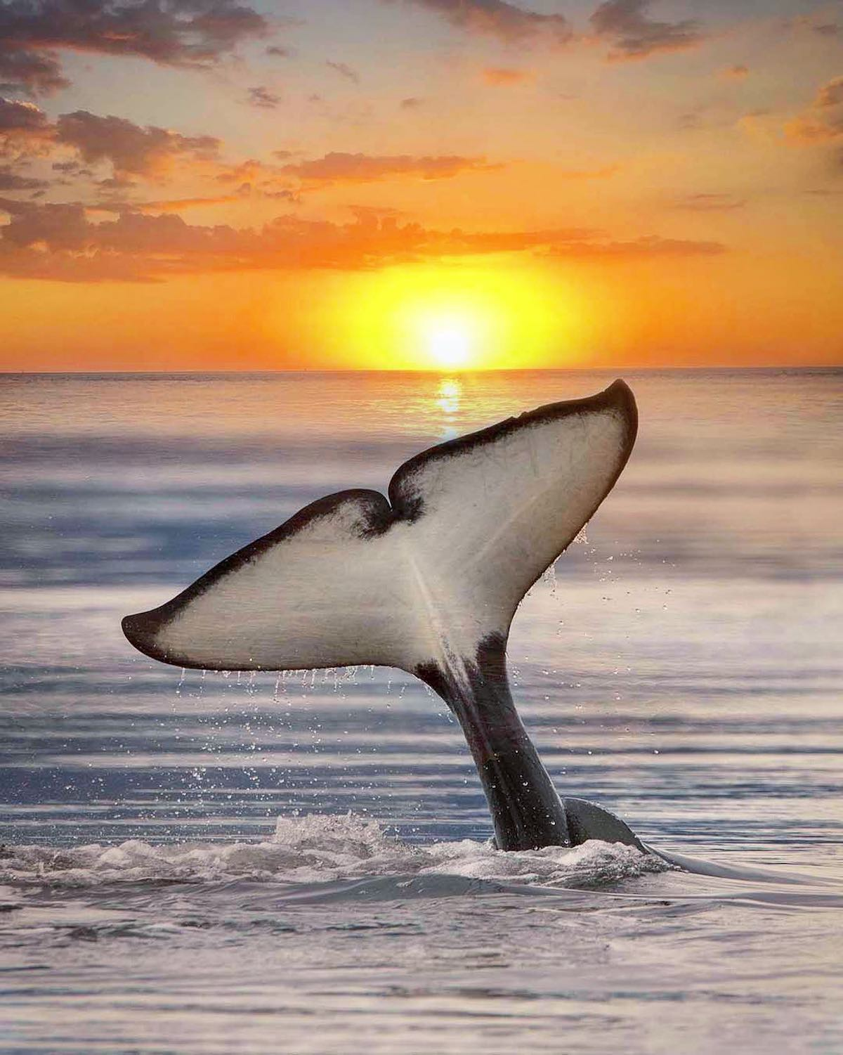 Photo Composite of Killer Whale with Sunset by Mary Parkhill