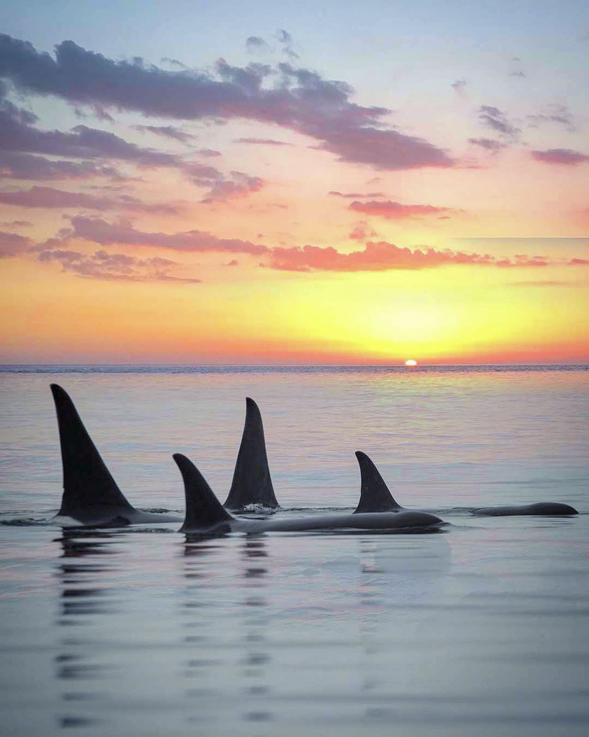 Orcas Swimming at Sunset in Alaska