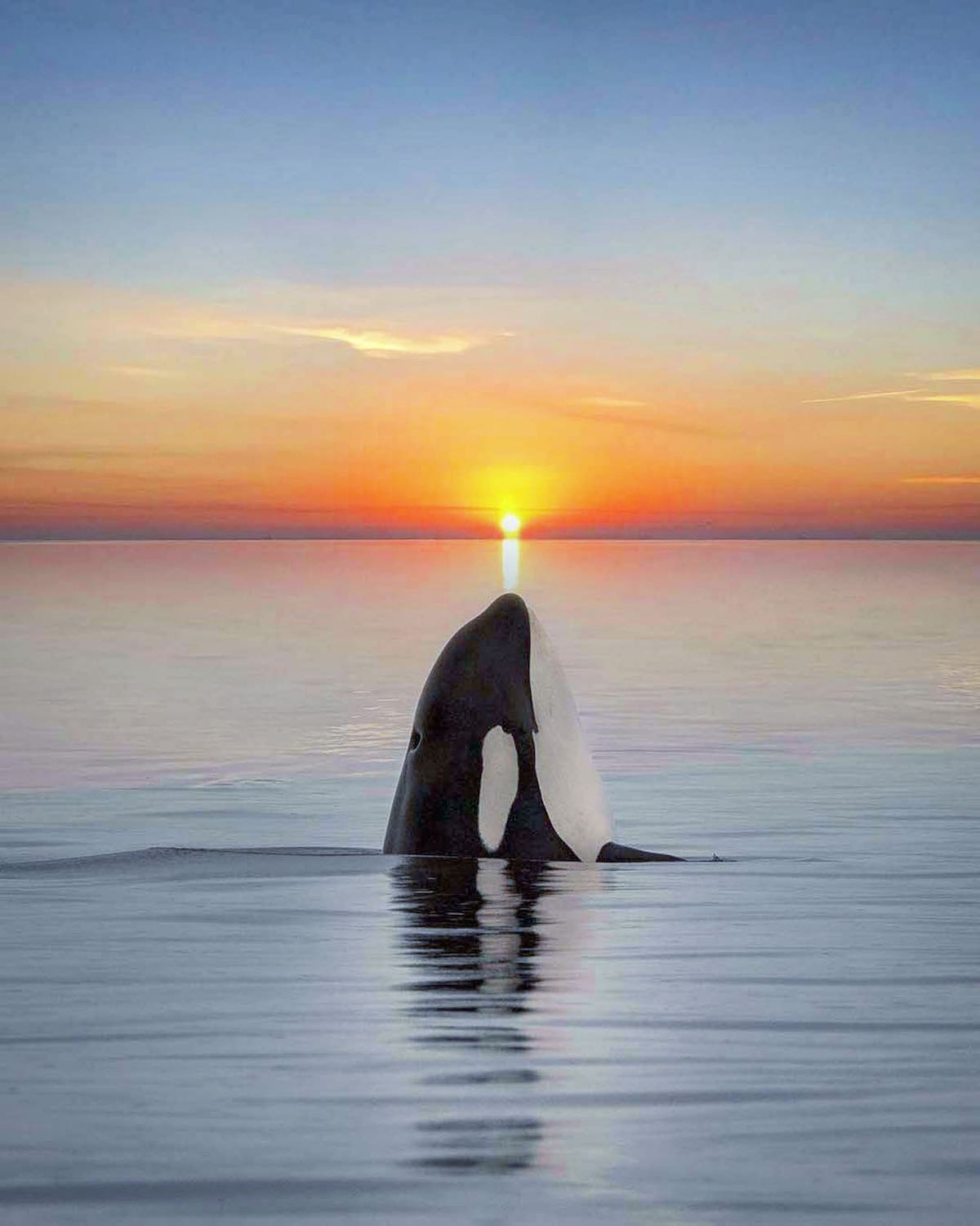 Orca Perfectly Aligned with Sunset by Mary's Mark Photography