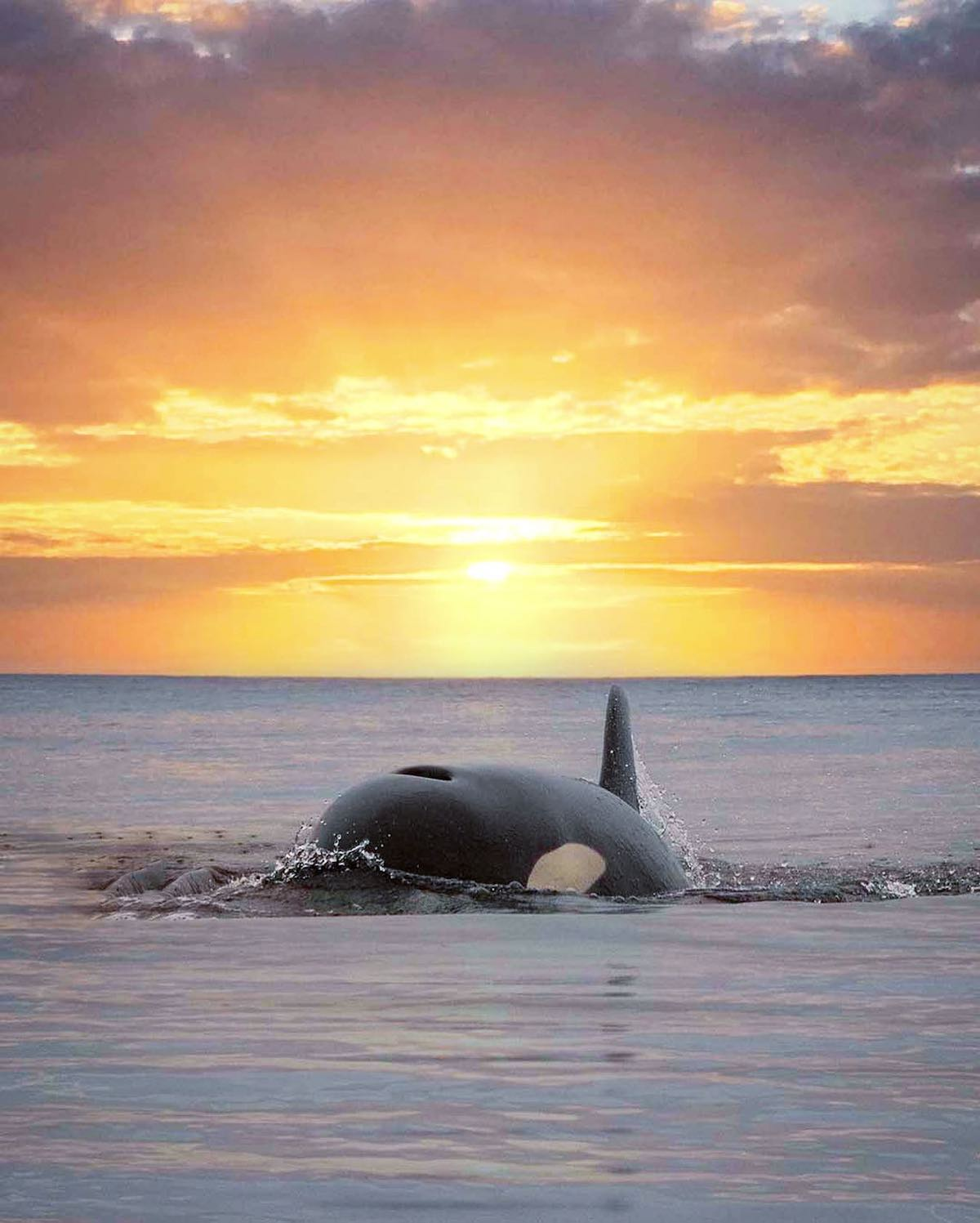 Killer Whale Swimming in Alaska with Sunset Behind