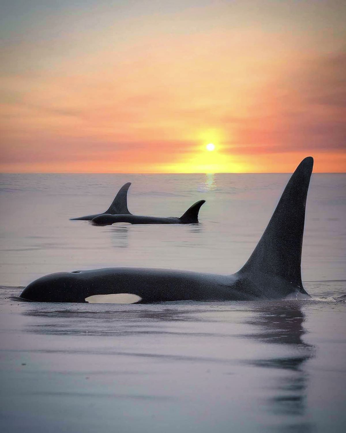 Killer Whale at Sunset by Mary Parkhill