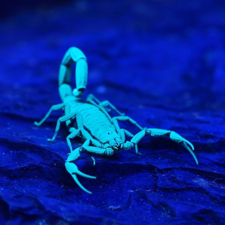 Scorpion Glowing Under UV Light