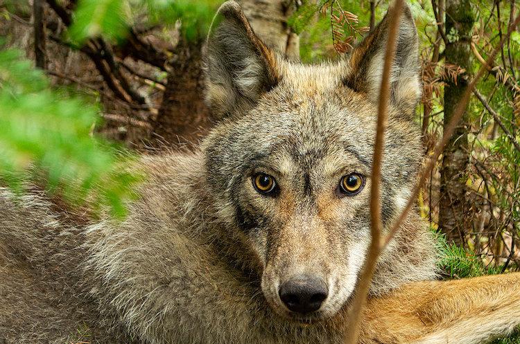 Elusive Wolf in Forest