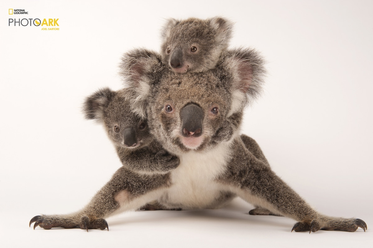 Koala with Her Babies for National Geographic's Photo Ark