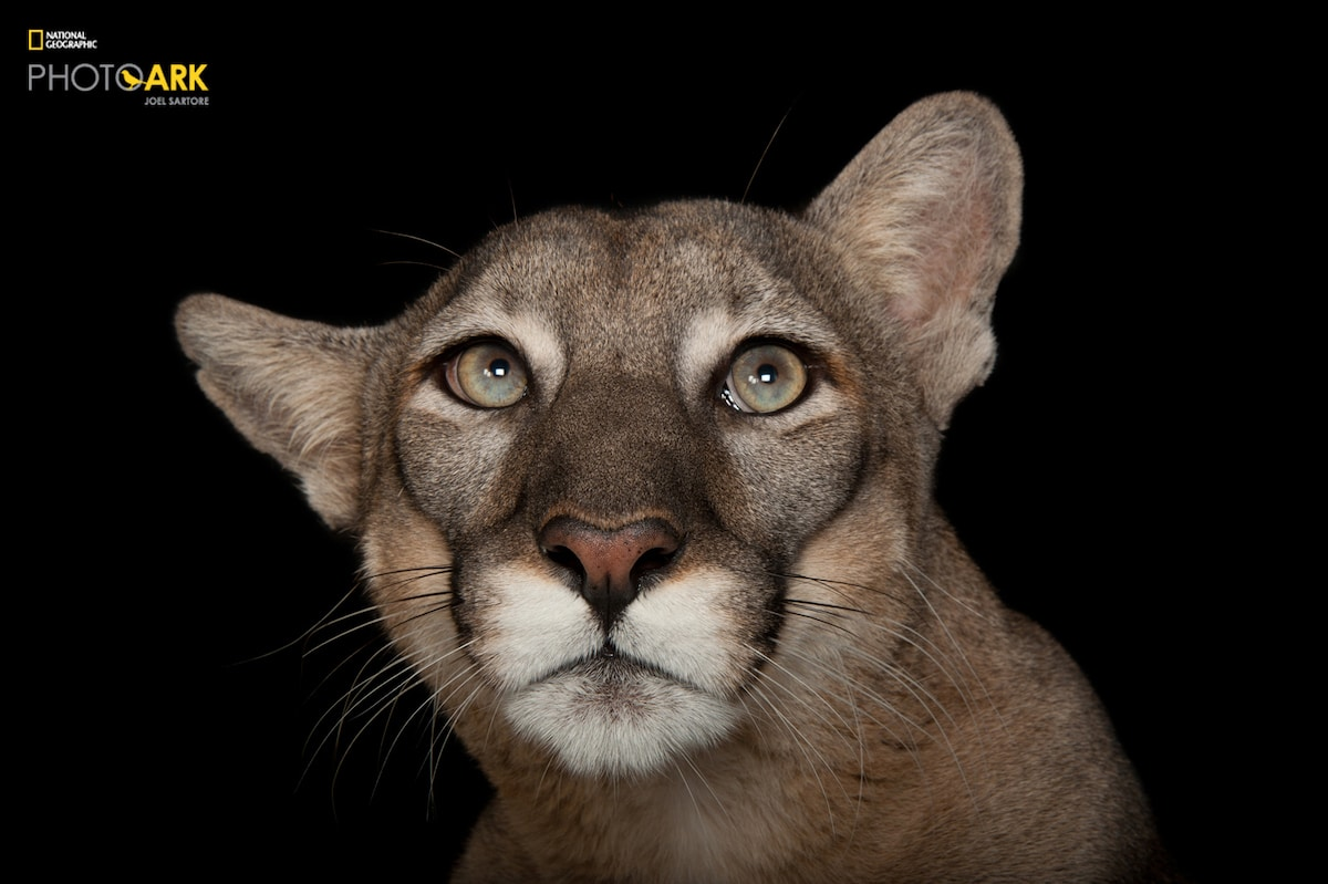Florida panther portrait for National Geographic's Photo Ark by Joel Sartore
