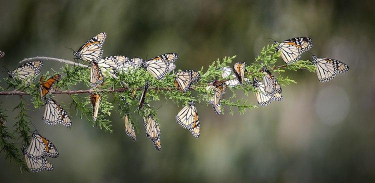 Mariposas monarca posadas en una rama