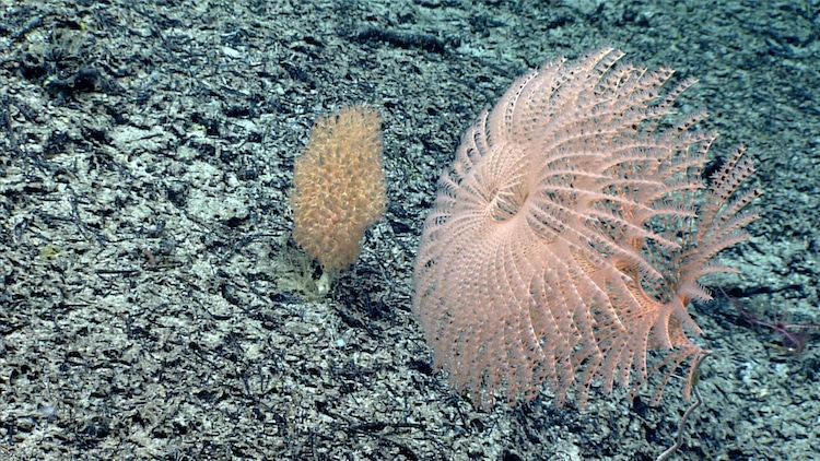 Rare Coral Observed on the Yakatut Seamount