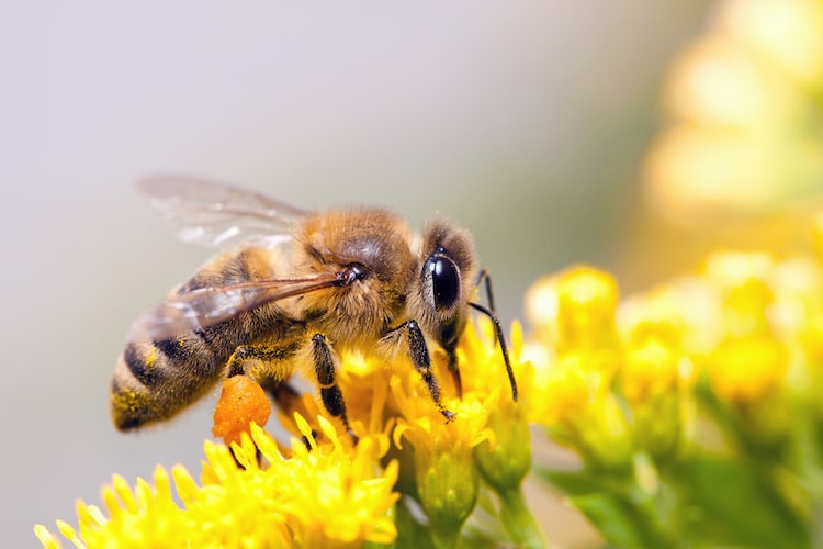 Honey Bee Collecting Nectar from a Flower