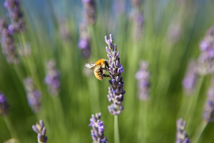 Honey Bee on a Piece of Lavender