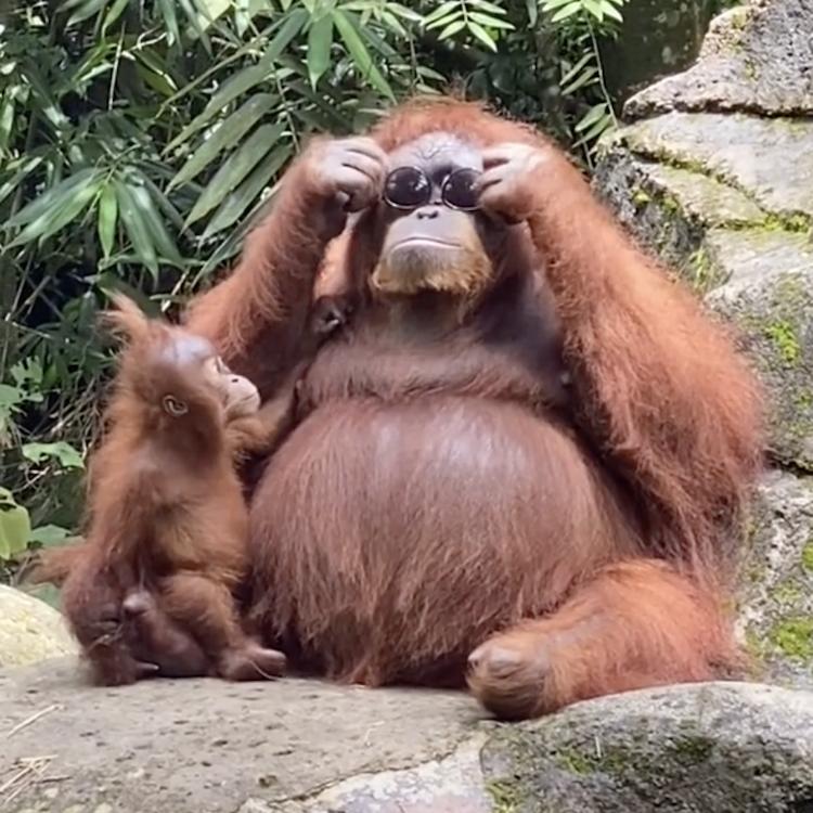 Funny Orangutan Wearing Sunglasses In Viral TikTok Video