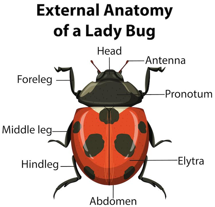 Anatomy of a Ladybug