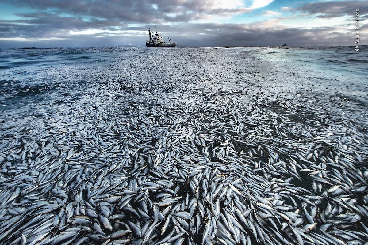 Harengs morts flottant dans la mer au large de la Norvège