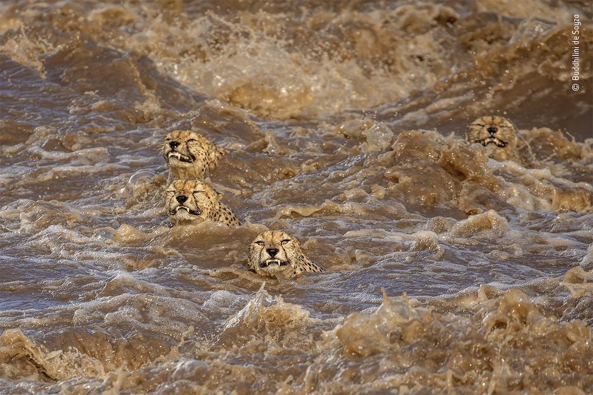 Les guépards mâles nageant dans la rivière au Kenya