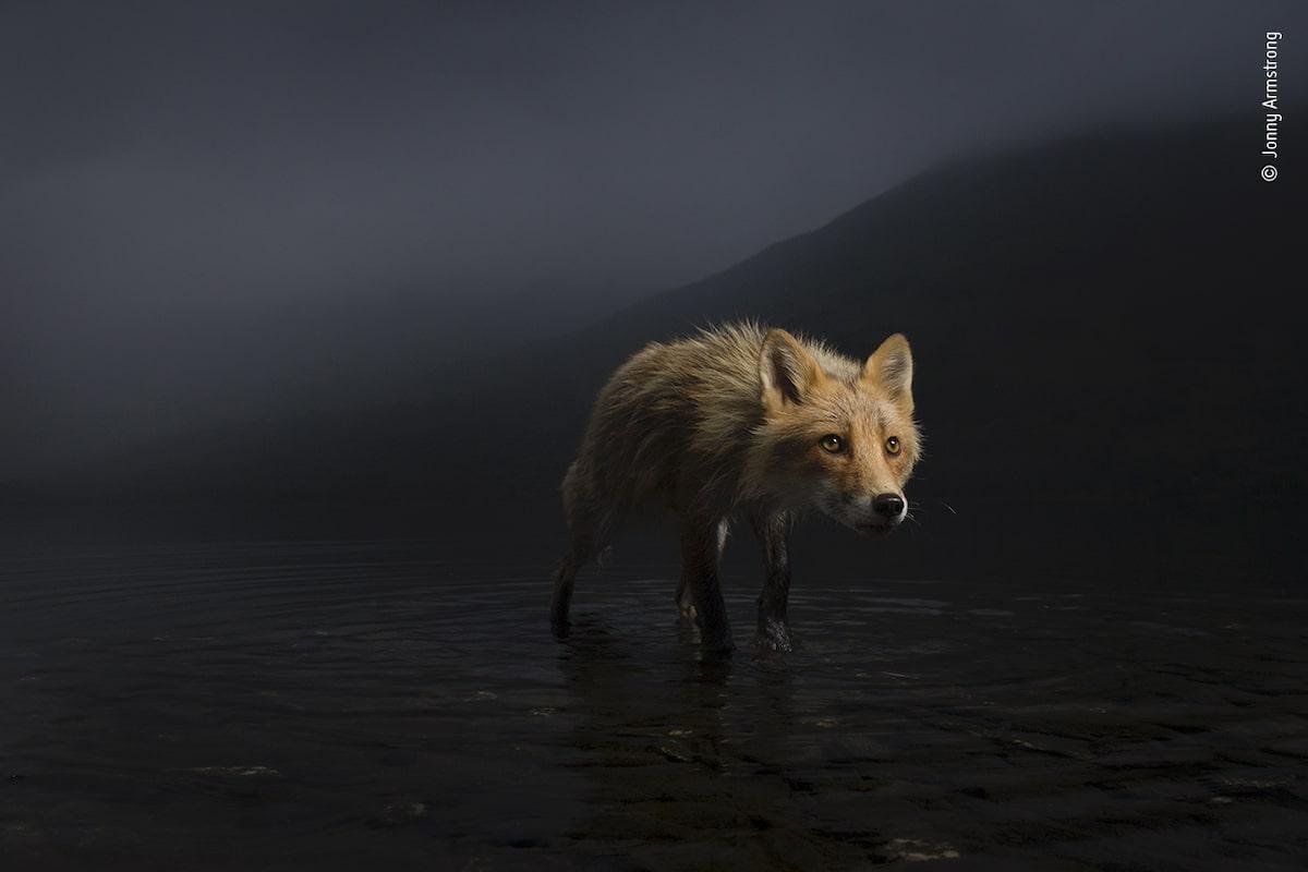 Portrait atmosphérique d'un renard Wildlife Photographer of the year