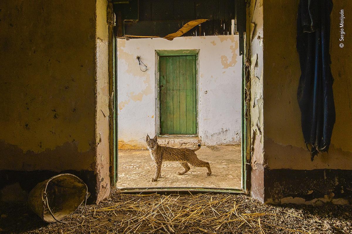 Lynx ibérique encadré dans une porte en Espagne Wildlife Photographer of the Year
