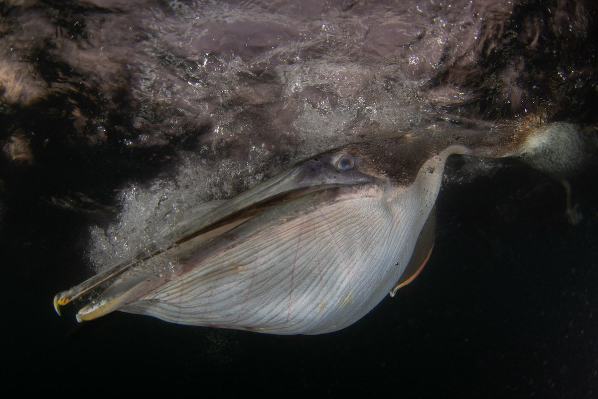 Underwater Portrait of a Brown Pelican