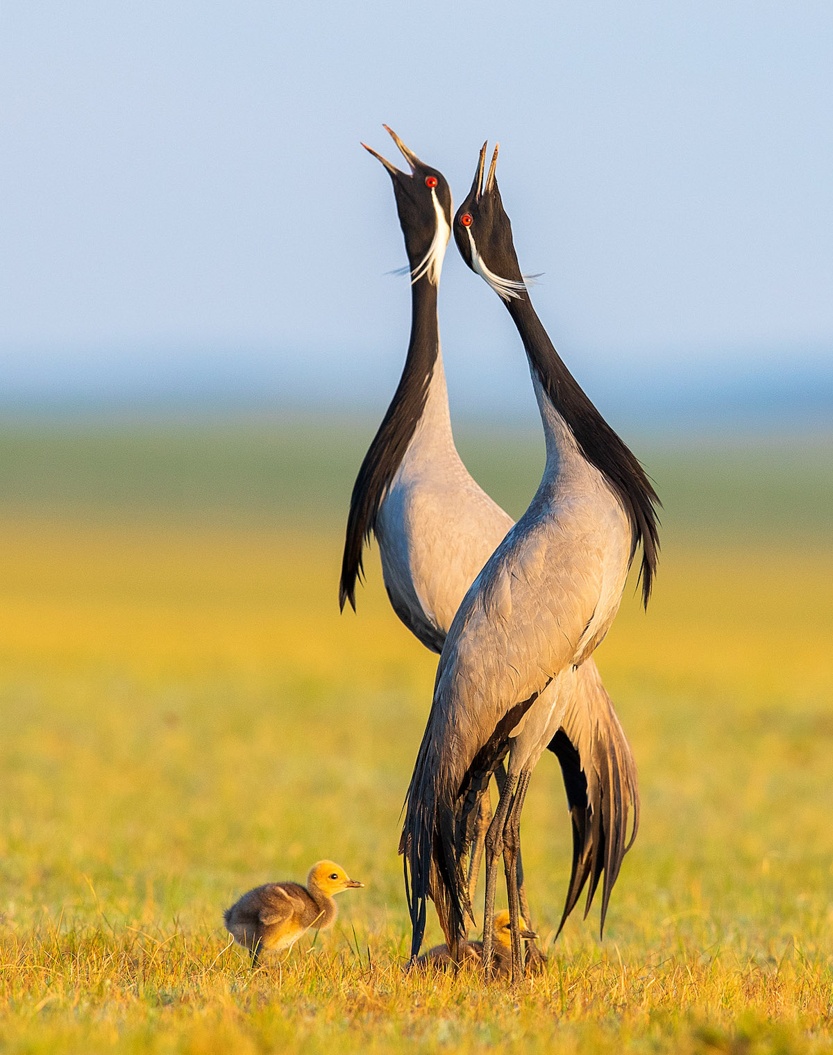 Two Adult Demoiselle Cranes Calling Out