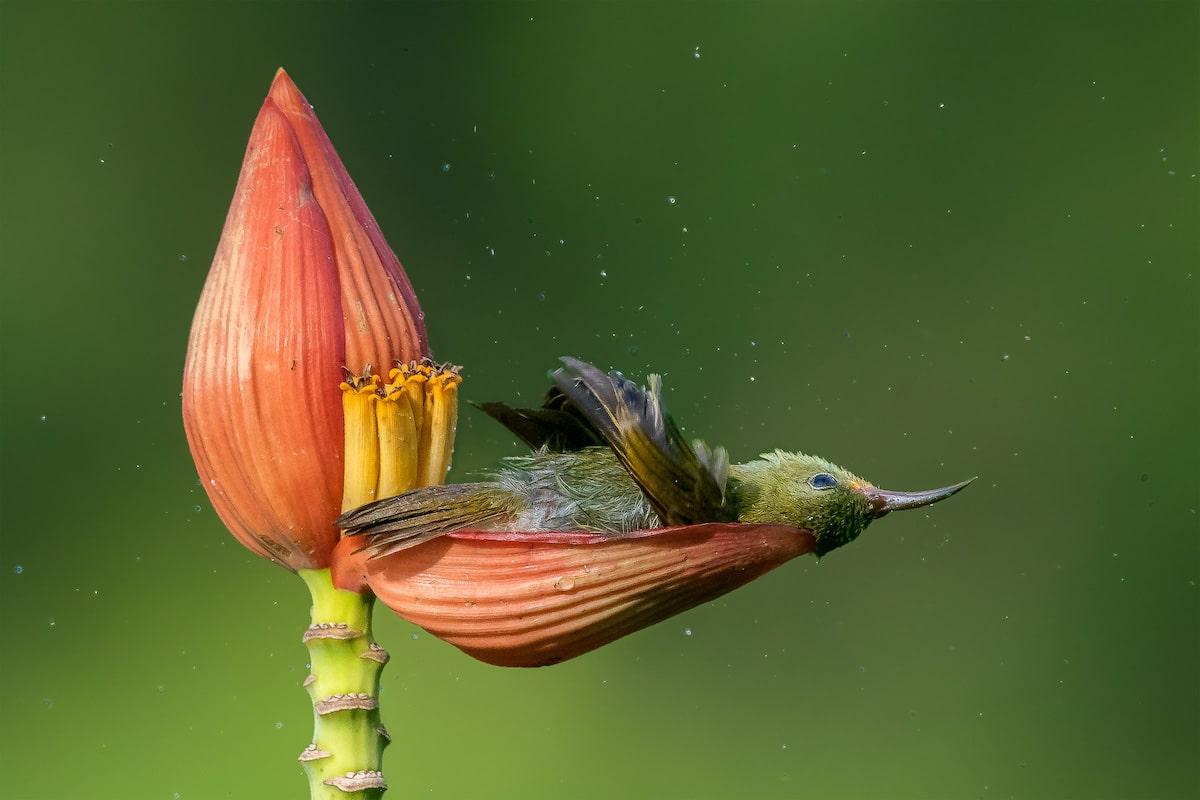 Crimson Sunbird Napping in a Flower Petal