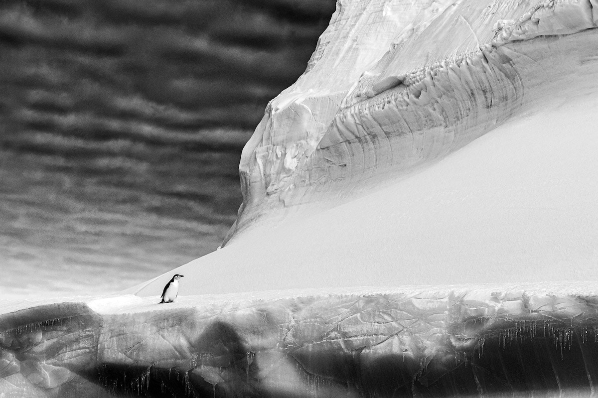 Black and White Photo of a Chinstrap Penguin in Antarctica