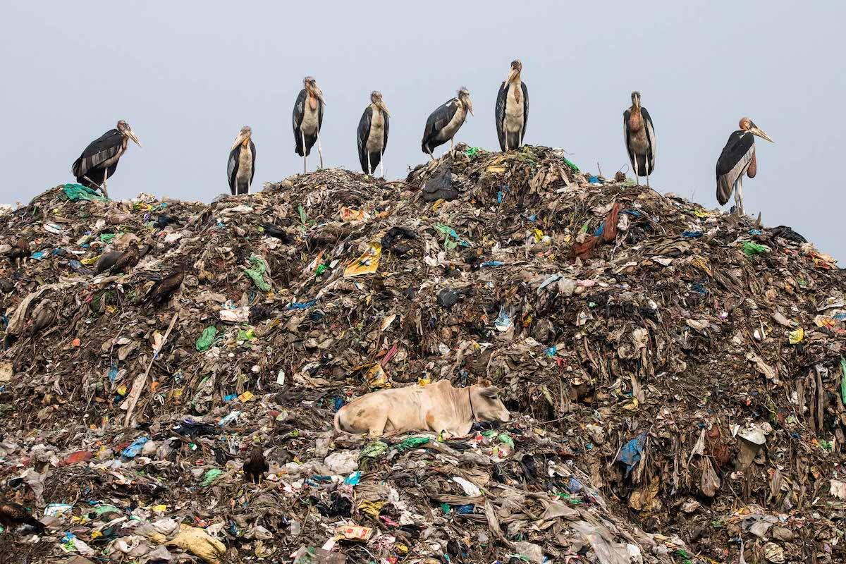 Endangered Greater Adjutant Storks Among Garbage in India