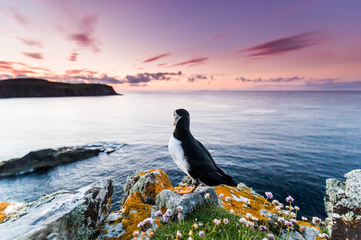 Puffin Looking Into the Horizon