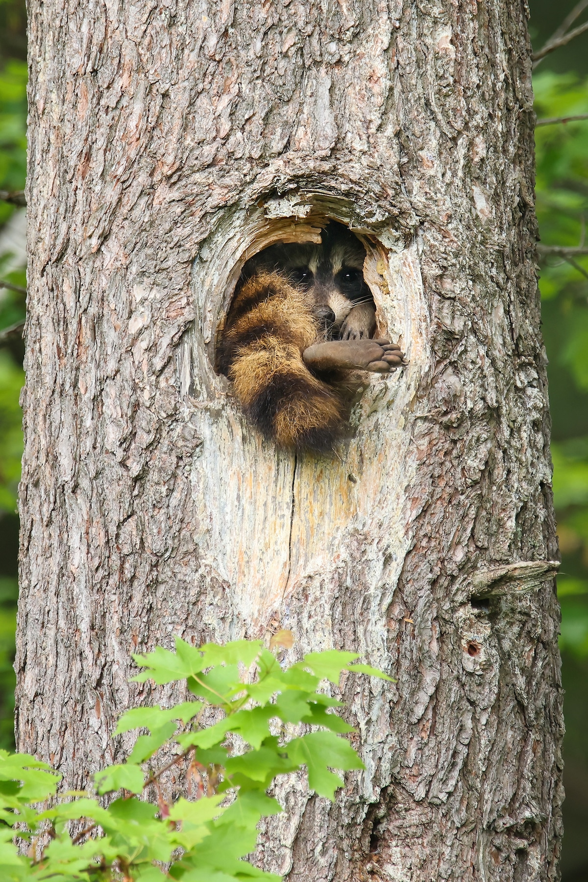 Raccoon Sticking Foot Out of Hole in a Tree