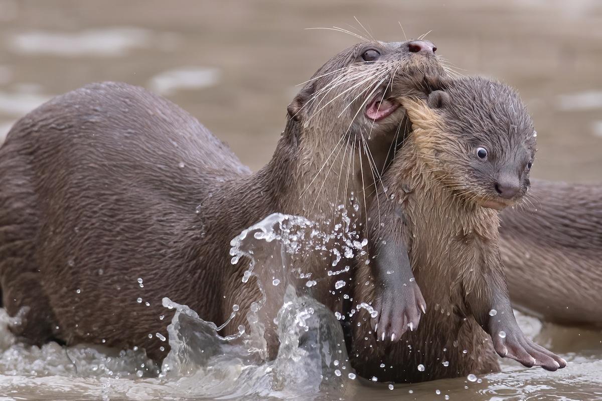 Otter Teaching Its Baby to Swim