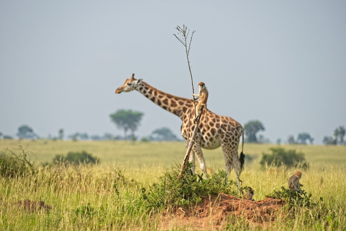 Monkey Riding on the Back of a Giraffe