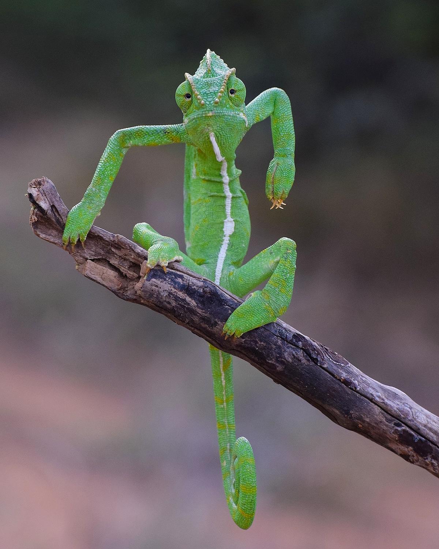 Indian Chameleon on a Branch