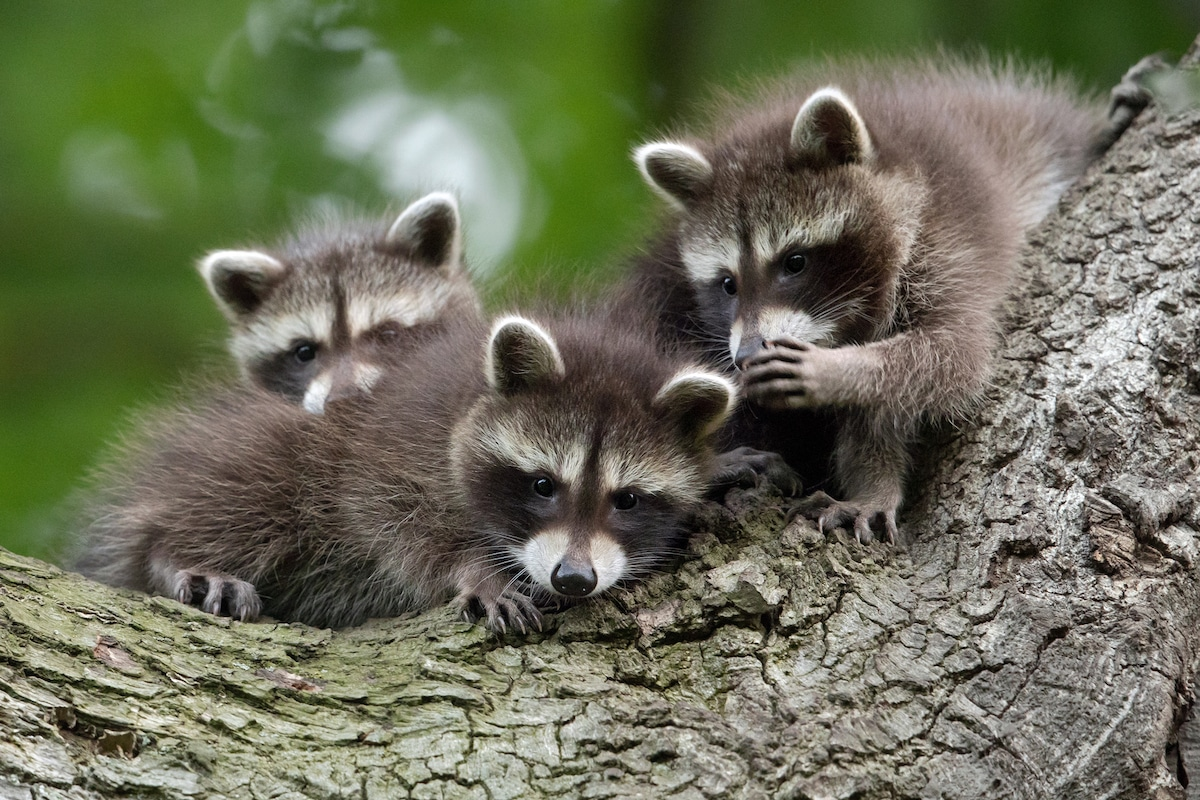 Raccoon Pups Whispering to Each Other