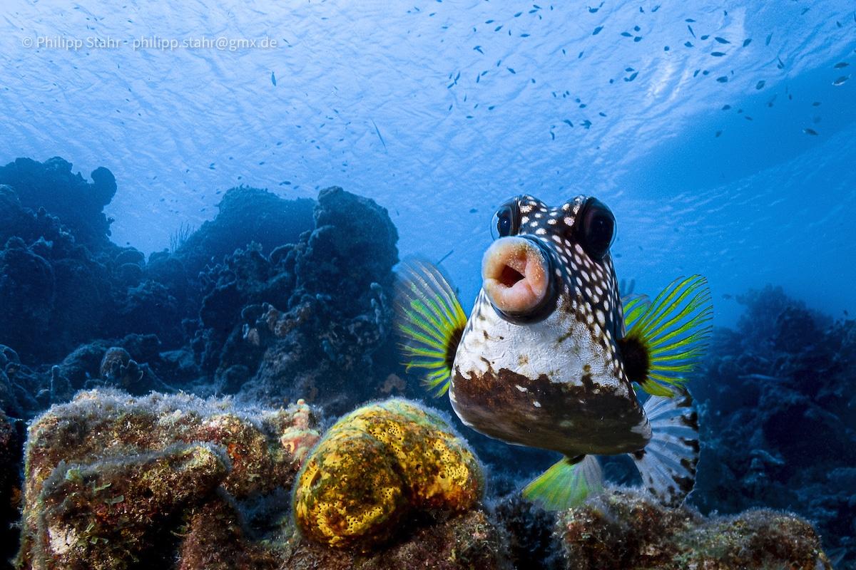 Boxfish Underwater