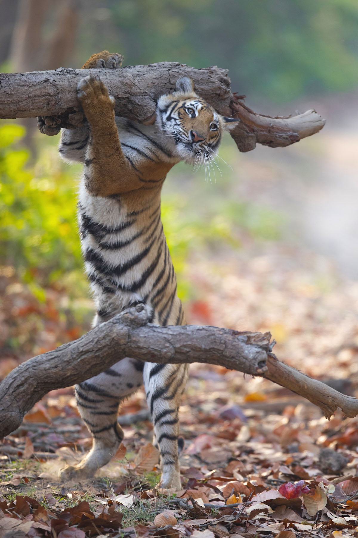 Female Tiger Looking Like She's Carrying a Log