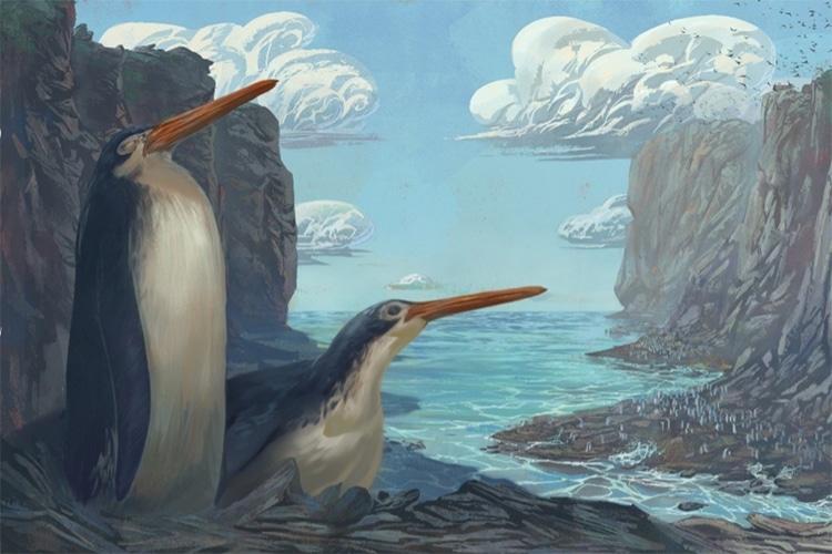 Kairuku waewaeroa New Giant Panda Fossil Species Discovered